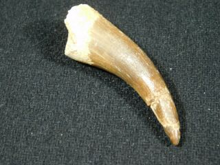 A 100 Natural S.  Maroccanus Spinosaurus Tooth Fossil From Morocco 10.  4gr
