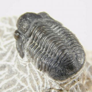 A 400 Million Year Old Trilobite Fossil 37.  5gr