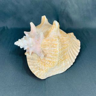 Vintage Large Pink Queen Conch Shell - 9 1/2 Inch Nautical Seashore Beach Decor
